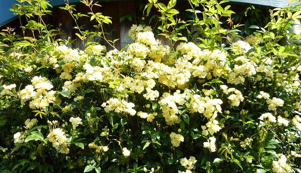 banksia-rose