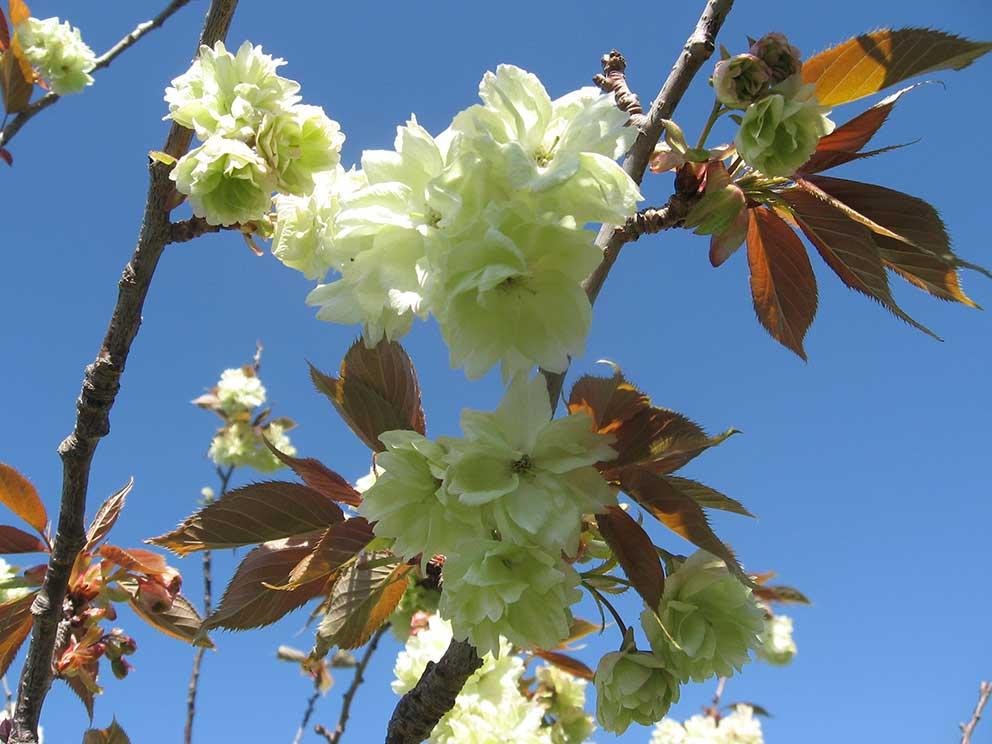 lemon-cherry-blossom