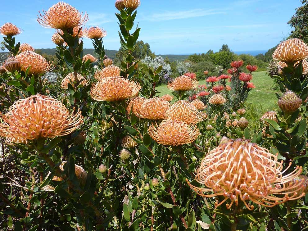 orange-leucapspermum