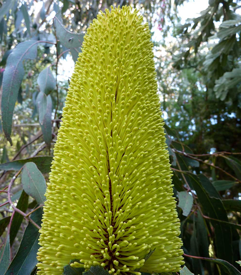 yellow-banksia