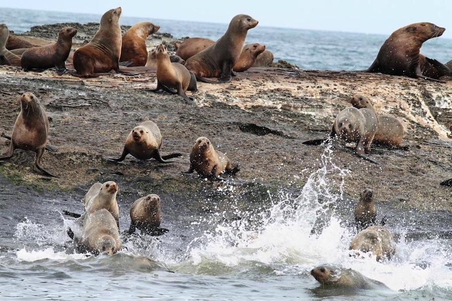 fur-seals