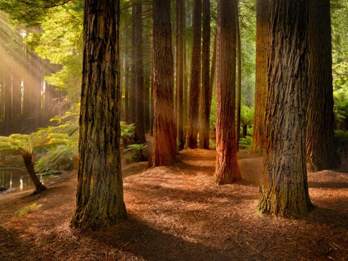 redwoods-by-roger-smith